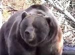 Bär attackiert LKW