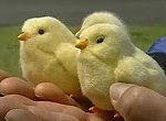 Kleine Chicken Roboter