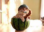 Die Katze in der Melone