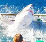 Weißer Hai bricht aus