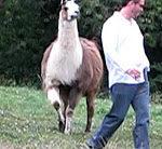 Stress mit dem Lama