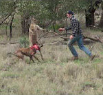 Boxkampf mit Känguru