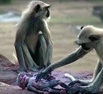 Affen spielen mit Affenpuppe