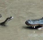 Kroko gegen Python