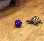 Schildkröte spielt Fussball